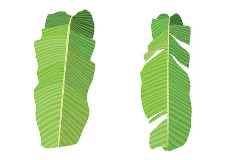 Green banana leaf fresh on white background illustration vector