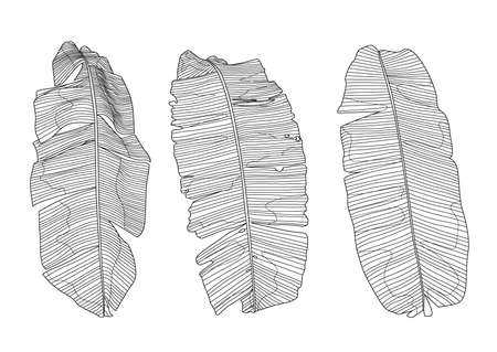 Line banana leaf lined design fresh on white background illustration vector