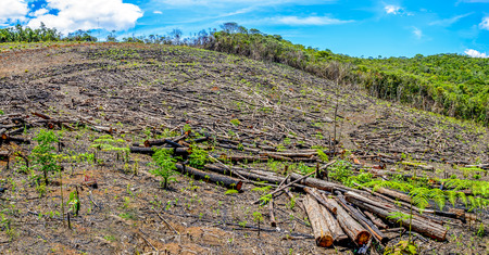 Wiped tree in the eucalyptus production forest. Minas Gerais , Brazil.