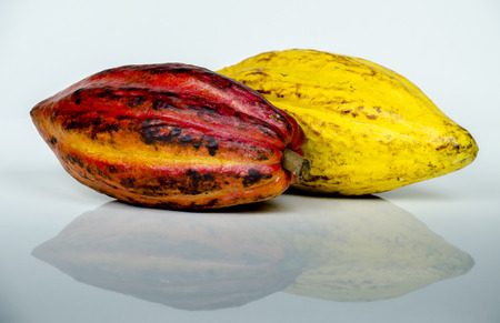 Large ripe  cacao pods isolated on white background. Imagens