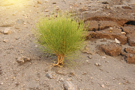 A small Green Dwarf Tree grows on Dry Soil, on Vulcan in Italy. Vulcano Island, Lipari.