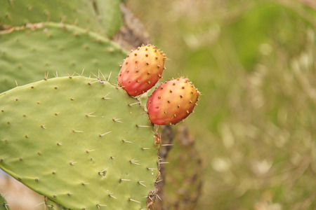 Opuntia Cactus and Cactus Fruits on the Blue Sky Background. Family Cactaceae. America, Mexico, Spain, Italy.