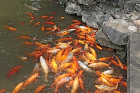 Golden carps chinese. Pisces in the pond. City of Shanghai. Stock Photo