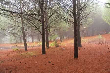 Magical and Fairy Cedar Forest with Thick Fog at the Foot of Mount Etna with a Cover of Red and Terracotta Needles. The island of Sicily, Italy.