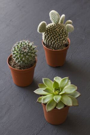 Three small pots of cacti and succulents stand on a black or dark modern concrete background. Cactus Opuntia, crassulaceae. Copy space for your text, top and side view. Vertical. Reklamní fotografie