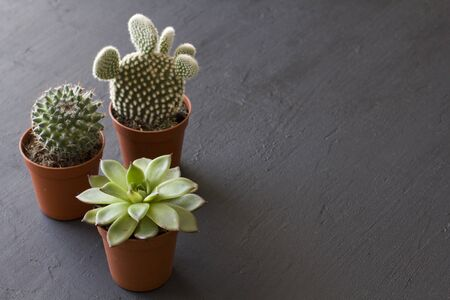 Three small pots of cacti and succulents stand on a black or dark modern concrete background. Cactus Opuntia, crassulaceae. Copy space for your text, top and side view. Horizontal. Reklamní fotografie