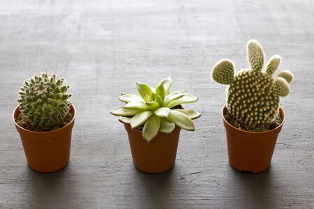 Three small pots of cacti and succulents stand in a row, on a black or dark modern concrete background. Cactus Opuntia, crassulaceae. Copy space for your text, top and side view.