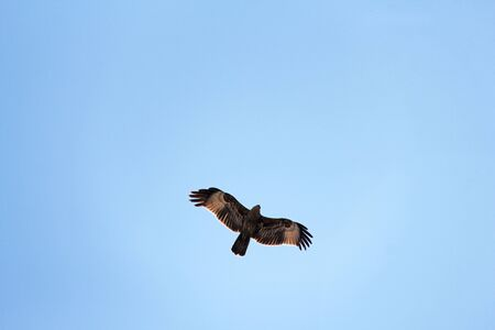 Silhouette of an eagle, silhouette of a bird in a blue sky, view from below. A large bird soars in the sky. 免版税图像