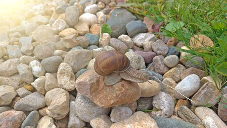 A large grape snail crawls on a stone, sitting on a rock. Stock fotó