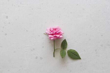 Pink rose cut flower lies on gray light background. One beautiful rose on a white table. Minimalism. Postcard, cover, surprise or gift to his girlfriend. Flat Lay, Top View, Copy Space For Your Text. Standard-Bild - 129251704