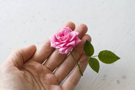 One Pink Rose in Hand on Gray Background. One beautiful rose on a white table. Minimalism. Postcard, cover, surprise or gift to his girlfriend. Flat Lay, Top View, Copy Space For Your Text. Standard-Bild - 129251593