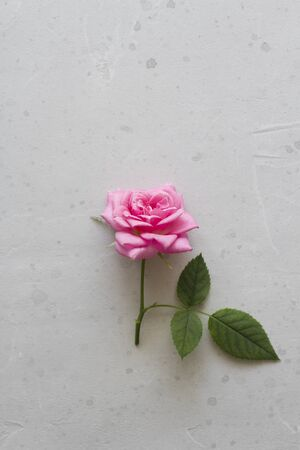 One beautiful pink rose lies on the table, on a light background. Flat Lay, Top View, Copy Space For Your Text. Standard-Bild - 129251435