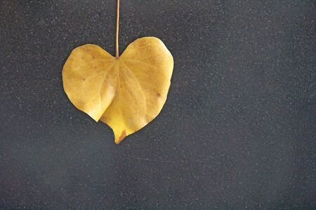 Yellow leaf of a tree in the shape of a heart on a black background. Autumn romantic design. Design with copy space. Top view.