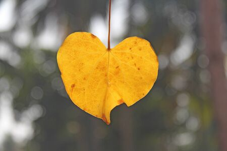 Yellow leaf of a tree in the shape of a heart. Autumn romantic design. Design with copy space. Top view. Reklamní fotografie