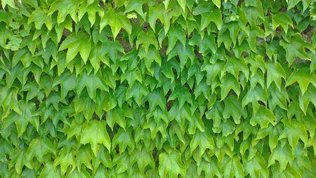 Green leaves background. Green vegetative background, green wall of leaves. Reklamní fotografie