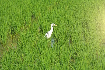 Bright green rice fields and white heron bird in Hampi. Green floral background and sun.