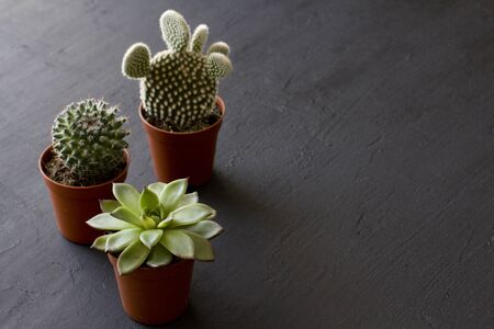 Three small pots of cacti and succulents stand on a black or dark modern concrete background. Cactus Opuntia, crassulaceae. Copy space for your text, top and side view.