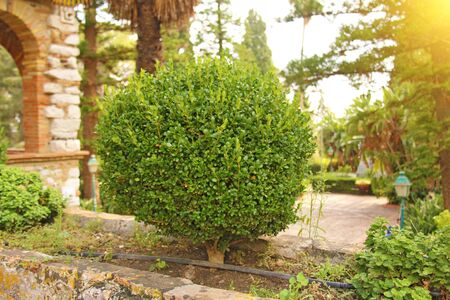 A Small Green Tree in the Shape Form in the Park, a Bonsai tree. Botanical Garden of Taormina. The island of Sicily, Italy. 写真素材