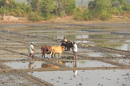 India, GOA, January 19, 2018. Male workers plow the rice field with plows and bulls or oxen. Plow the rice field with a plow and a bull. Hard labour. Редакционное