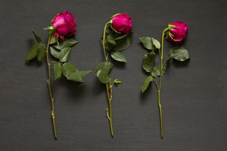 Three scarlet red purple beautiful sluggish and wilted roses lie in a row one after another on a black modern background. The concept and process of dying. Wilted pink roses. Copy space for text.