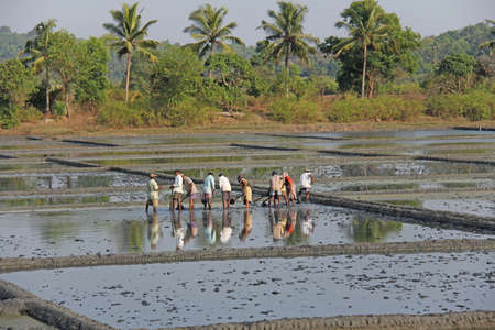 India, GOA, 03 February 2018. Indian workers plow the field with shovels and are reflected in the water. Heavy manual labor in nature. Rice fields. Workers against the backdrop of palm trees. Standard-Bild