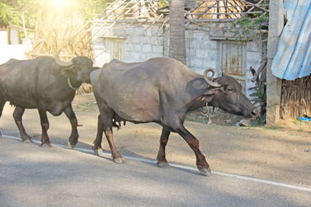 Black buffaloes are walking along the road. Publikacyjne