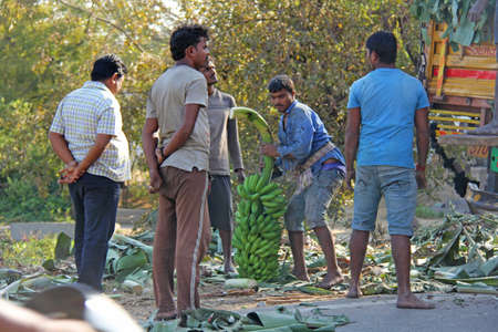 India, Hampi, January 31, 2018. Men are loading large green banana branches into the truck.