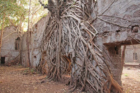 Redi Fort. The roots were grown up with the brick walls of the fortress. India, GOA. Entrance. Trees are parasites.