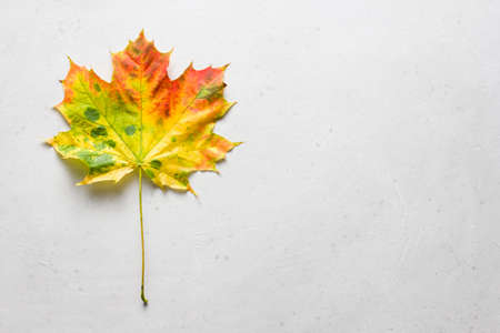 Bright yellow green red orange maple leaf close up lies on white light gray modern concrete background, modern style, autumn card, concept, september, october. Copy space for your text. Top view. Zdjęcie Seryjne