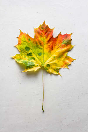 Bright yellow green red orange maple leaf close up lies on white light gray modern concrete background, modern style, autumn card, concept, september, october. Copy space for your text. Top view. 免版税图像