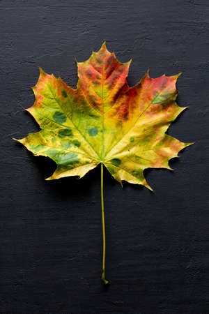 Bright yellow green red orange maple leaf close up lies on black dark modern concrete background, modern style, autumn card, concept, september, october. Copy space for text. Top view. Maple leaf.