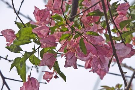 pink bougainvillea  Stok Fotoğraf