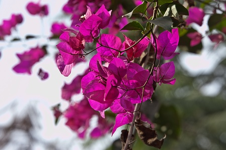 lambent: pinkish bougainvillea in HDR Stock Photo