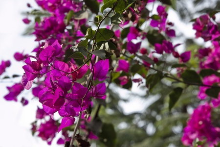 elicit: pinkish bougainvillea branch