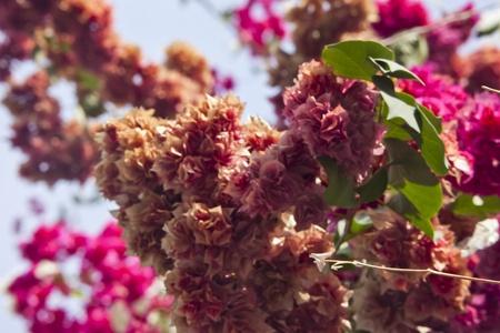 poorer: brown bougainvillea branch