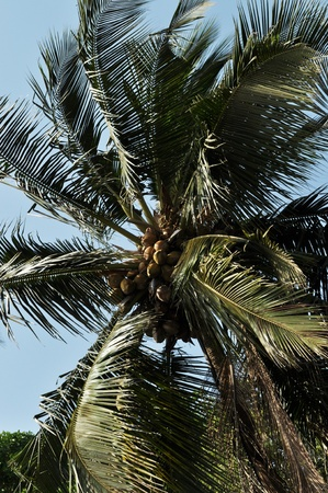 footing: coconut plant Stock Photo