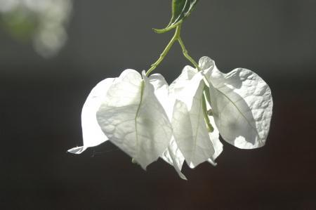 commend: two white Bougainvillea  Stock Photo