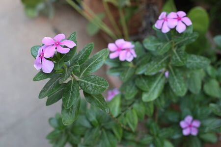 effloresce: pink flower with dirty leaves