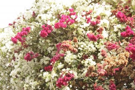 viewpoints: Double color bougainvillea
