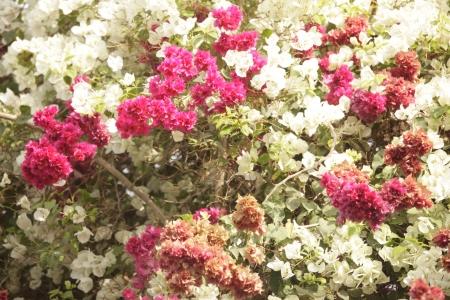 irradiate: triple color bougainvillea