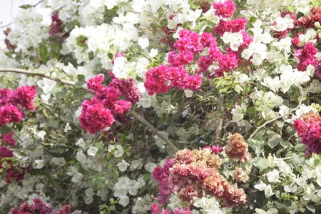 bougainvilleas: multi colored bougainvilleas