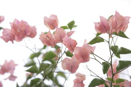 morn: sinking bougainvilleas  Stock Photo