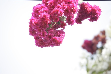 insufficient: purple bougainvilleas  hanging