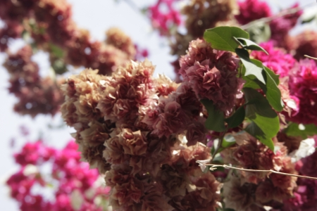 floatable: thick bougainvilleas