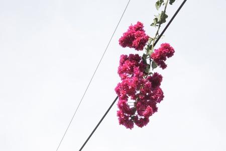 bougainvilleas: bougainvilleas  on line