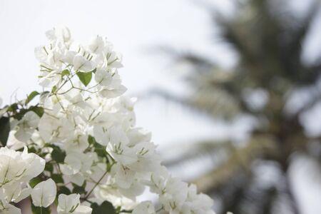 white Bougainvillea in sunlight