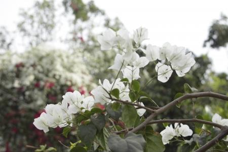 crus: branch of white Bougainvillea Stock Photo