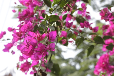 group of pink Bougainvillea Stock Photo - 14552873