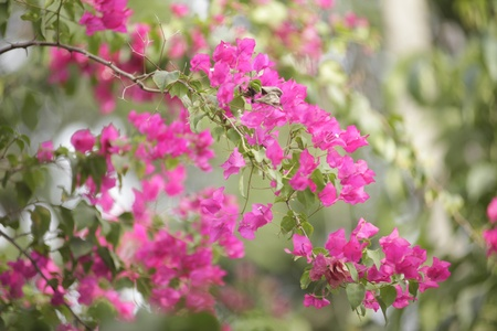 evolving: pinkish Bougainvillea Stock Photo