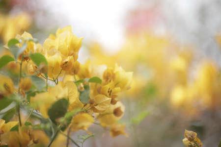 poignant: yellow Bougainvillea